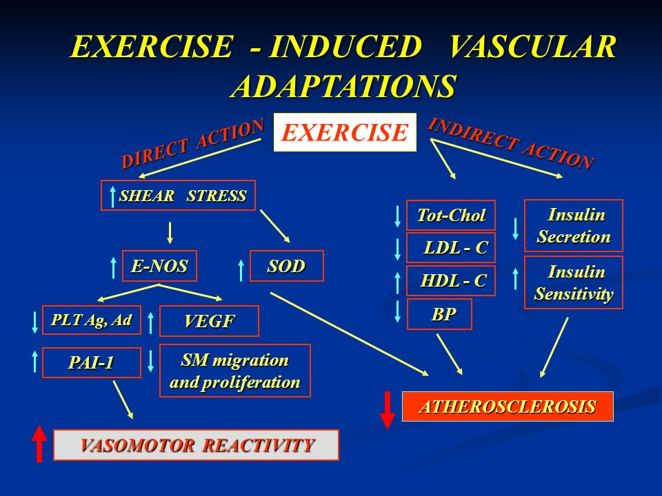 EXERCISE - INDUCED VASCULAR ADAPTATIONS SM migration and proliferation