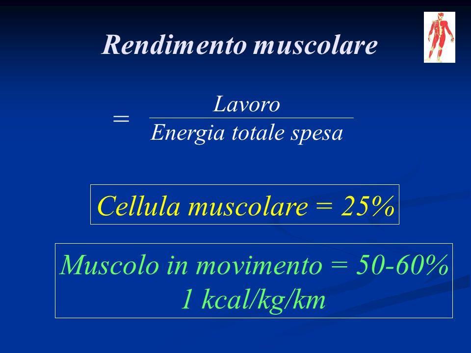Muscolo in movimento = 50-60%