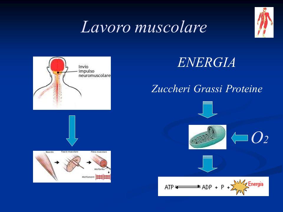 Lavoro muscolare ENERGIA Zuccheri Grassi Proteine O2