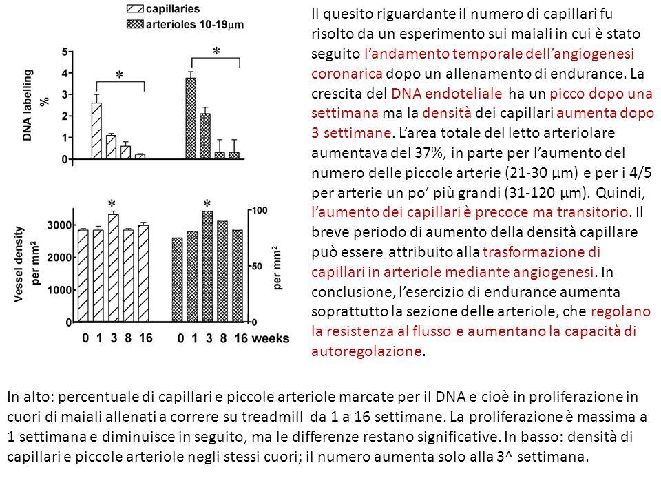 Il quesito riguardante il numero di capillari fu risolto da un esperimento sui maiali in cui è stato seguito l'andamento temporale dell'angiogenesi coronarica dopo un allenamento di endurance. La crescita del DNA endoteliale ha un picco dopo una settimana ma la densità dei capillari aumenta dopo 3 settimane. L'area totale del letto arteriolare aumentava del 37%, in parte per l'aumento del numero delle piccole arterie (21-30 µm) e per i 4/5 per arterie un po' più grandi (31-120 µm). Quindi, l'aumento dei capillari è precoce ma transitorio. Il breve periodo di aumento della densità capillare può essere attribuito alla trasformazione di capillari in arteriole mediante angiogenesi. In conclusione, l'esercizio di endurance aumenta soprattutto la sezione delle arteriole, che regolano la resistenza al flusso e aumentano la capacità di autoregolazione.