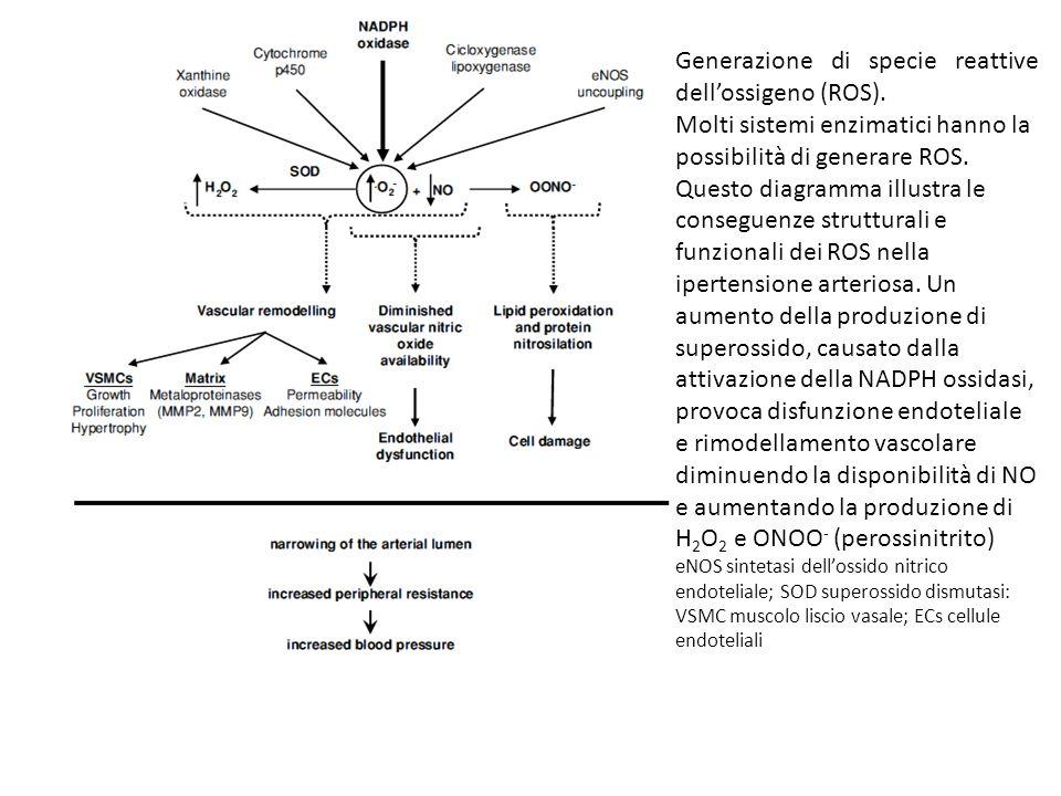Generazione di specie reattive dell'ossigeno (ROS).