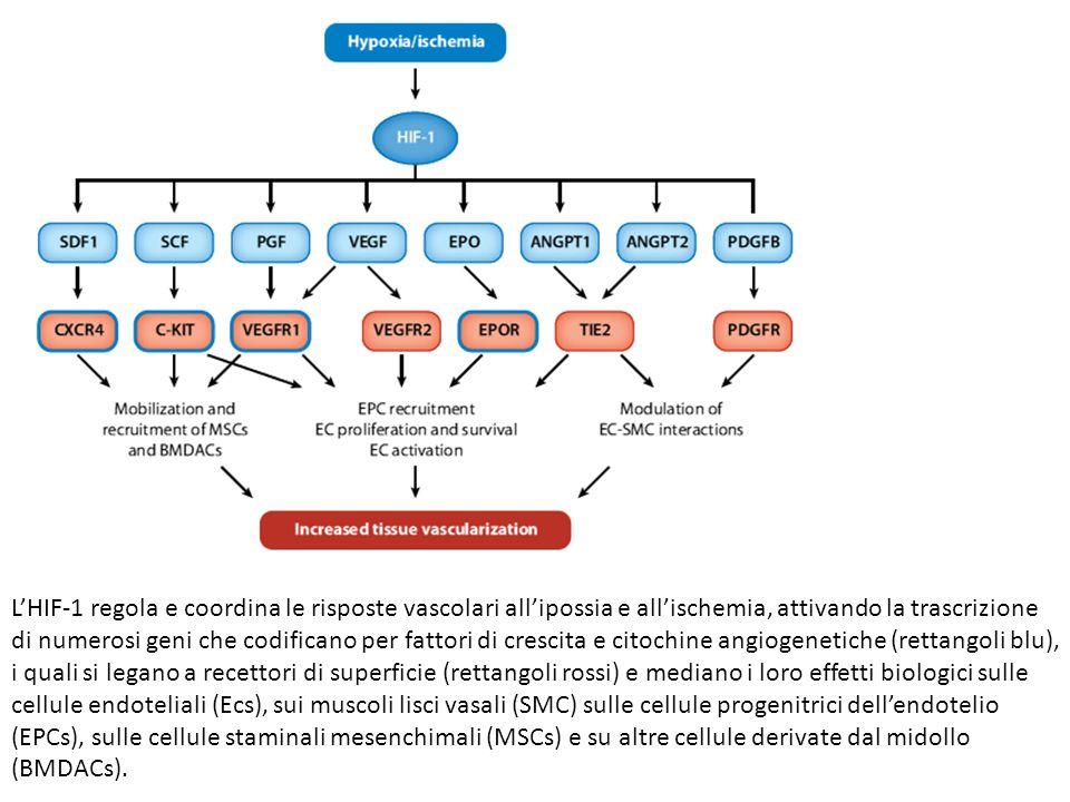 L'HIF-1 regola e coordina le risposte vascolari all'ipossia e all'ischemia, attivando la trascrizione di numerosi geni che codificano per fattori di crescita e citochine angiogenetiche (rettangoli blu), i quali si legano a recettori di superficie (rettangoli rossi) e mediano i loro effetti biologici sulle cellule endoteliali (Ecs), sui muscoli lisci vasali (SMC) sulle cellule progenitrici dell'endotelio (EPCs), sulle cellule staminali mesenchimali (MSCs) e su altre cellule derivate dal midollo (BMDACs).