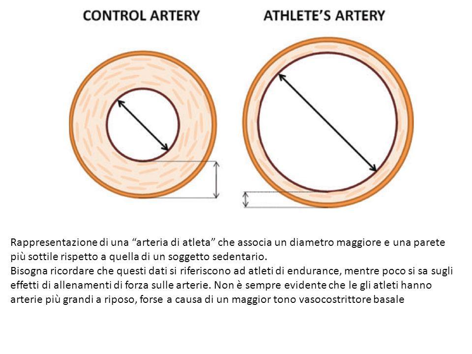 Rappresentazione di una arteria di atleta che associa un diametro maggiore e una parete più sottile rispetto a quella di un soggetto sedentario.