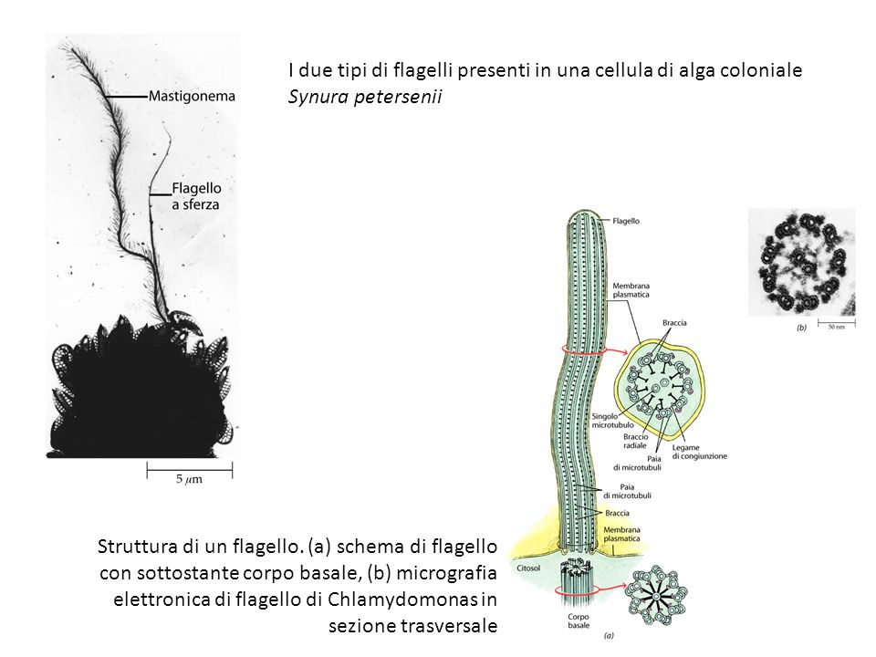 I due tipi di flagelli presenti in una cellula di alga coloniale Synura petersenii