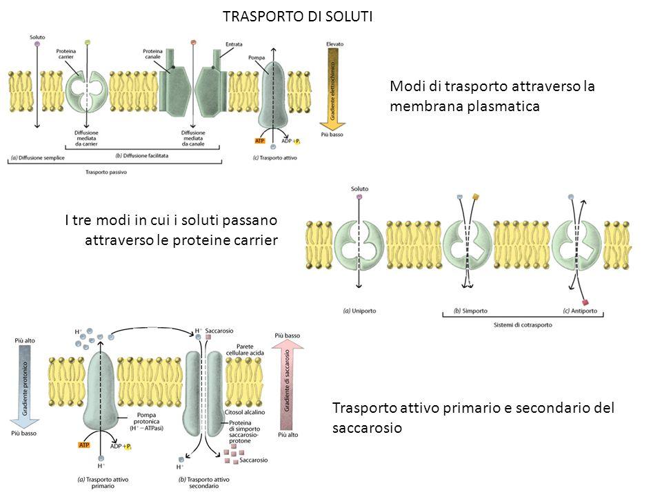 TRASPORTO DI SOLUTI Modi di trasporto attraverso la membrana plasmatica. I tre modi in cui i soluti passano attraverso le proteine carrier.