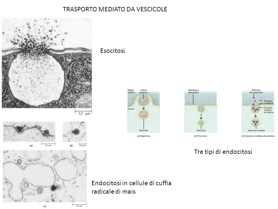 TRASPORTO MEDIATO DA VESCICOLE
