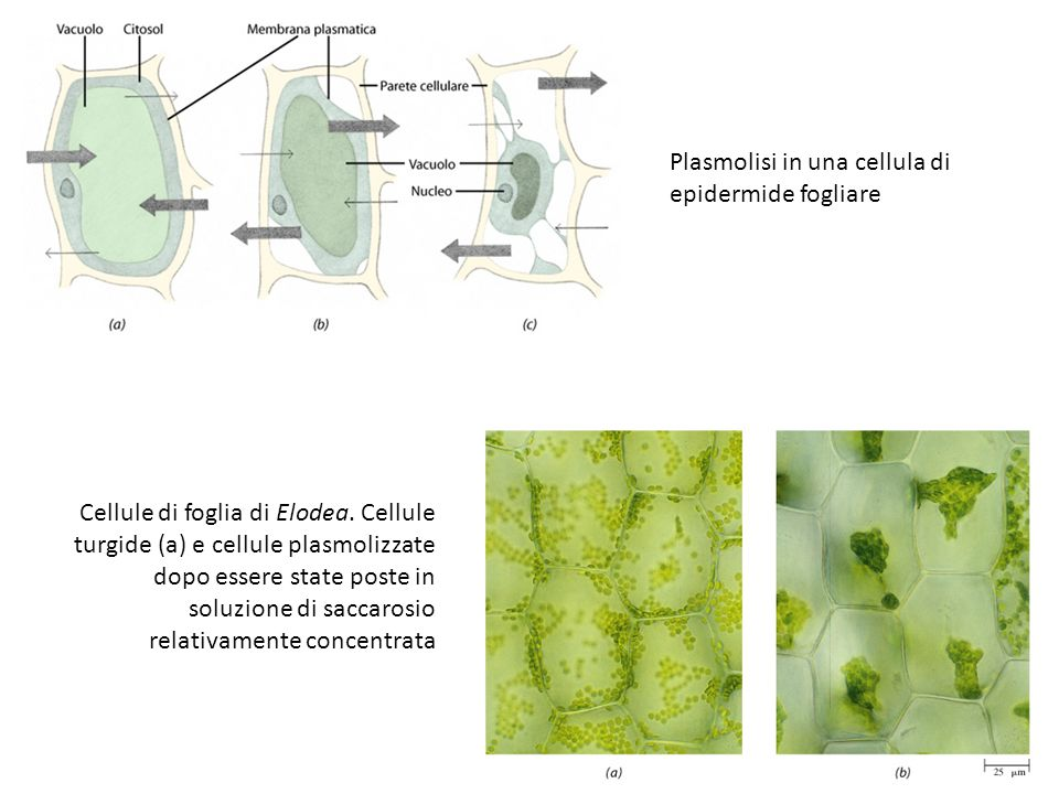 Plasmolisi in una cellula di epidermide fogliare