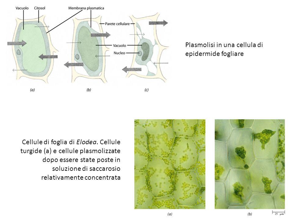 Plasmolisi in una cellula di epidermide fogliare