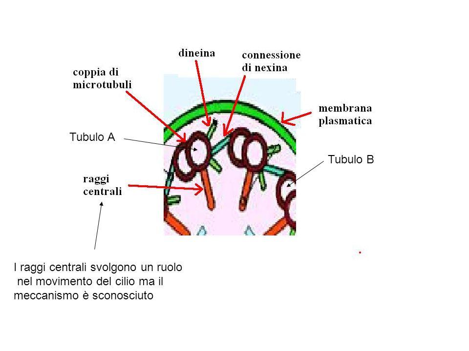 Tubulo A Tubulo B. I raggi centrali svolgono un ruolo.