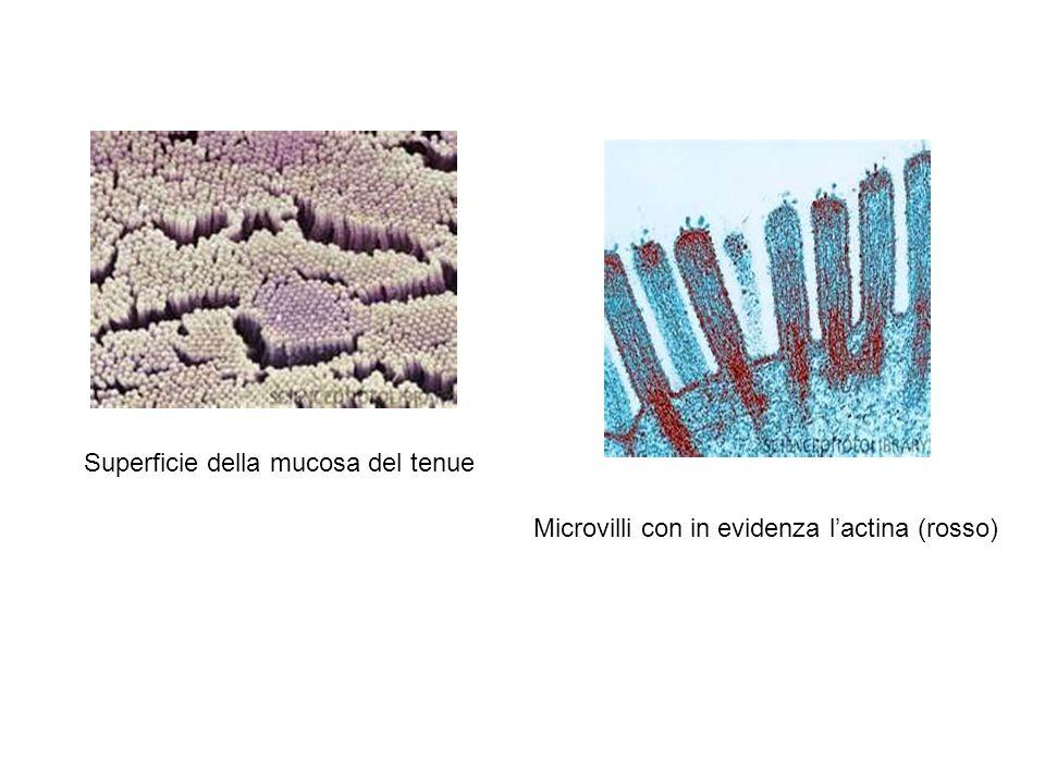 Superficie della mucosa del tenue