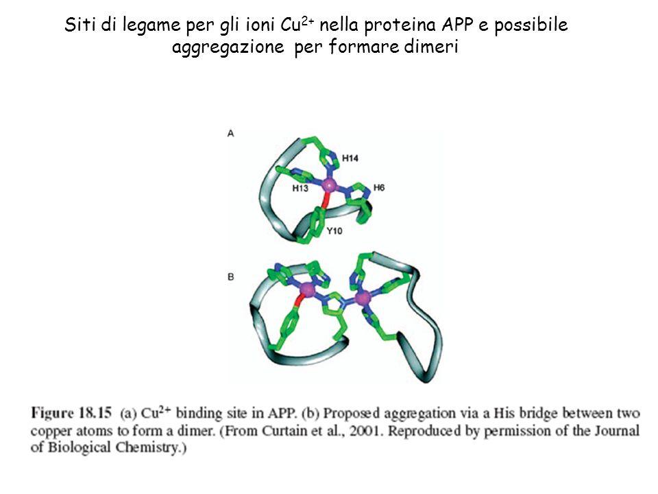 Siti di legame per gli ioni Cu2+ nella proteina APP e possibile aggregazione per formare dimeri