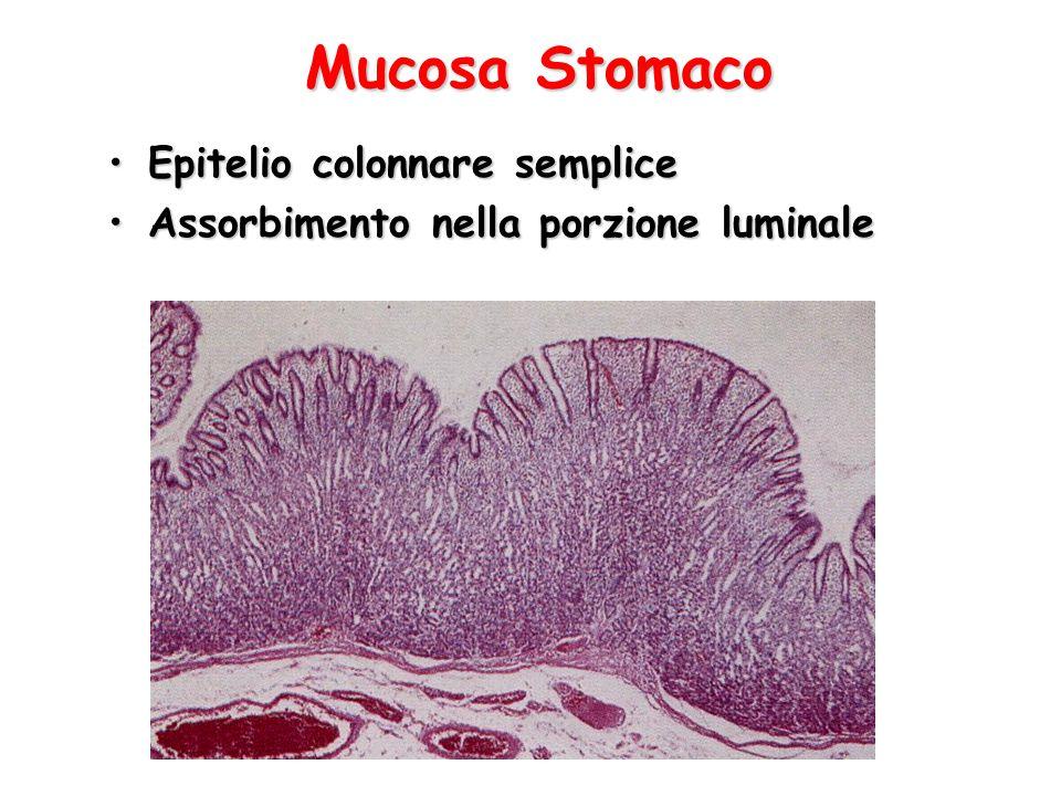 Mucosa Stomaco Epitelio colonnare semplice