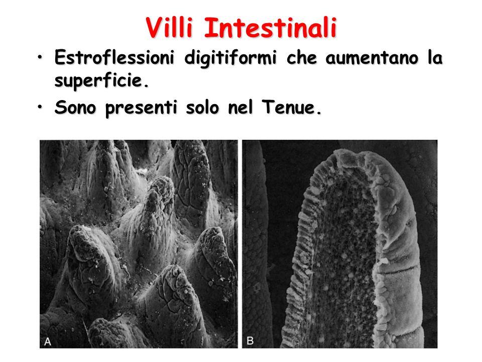 Villi Intestinali Estroflessioni digitiformi che aumentano la superficie.