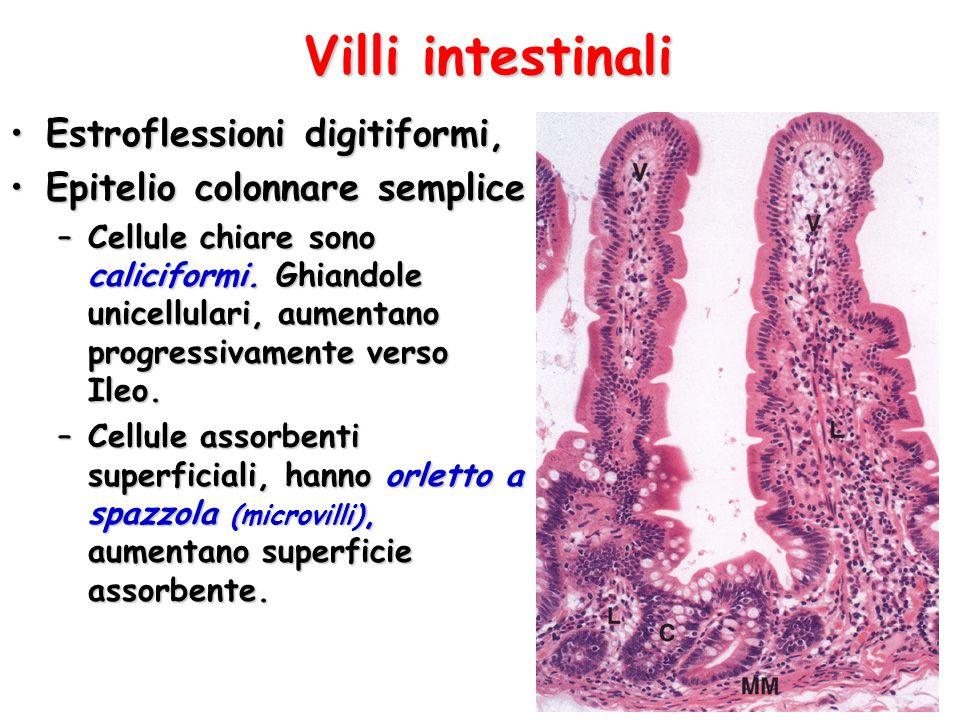 Villi intestinali Estroflessioni digitiformi,