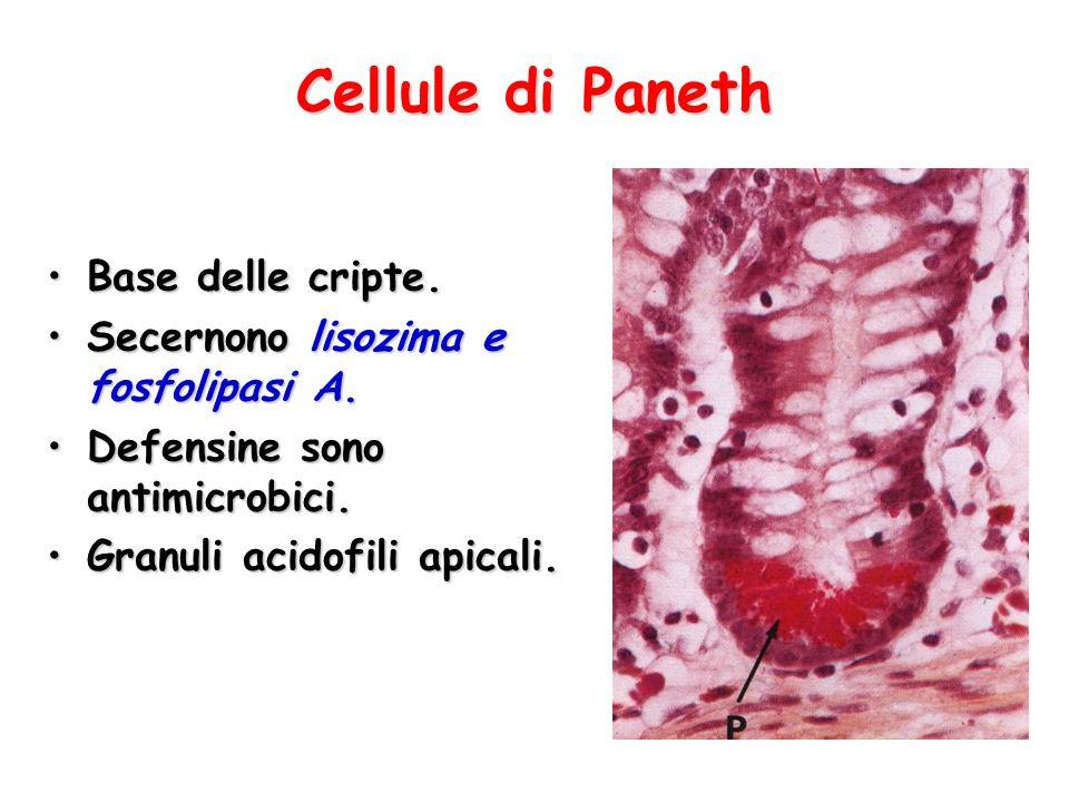 Cellule di Paneth Base delle cripte.