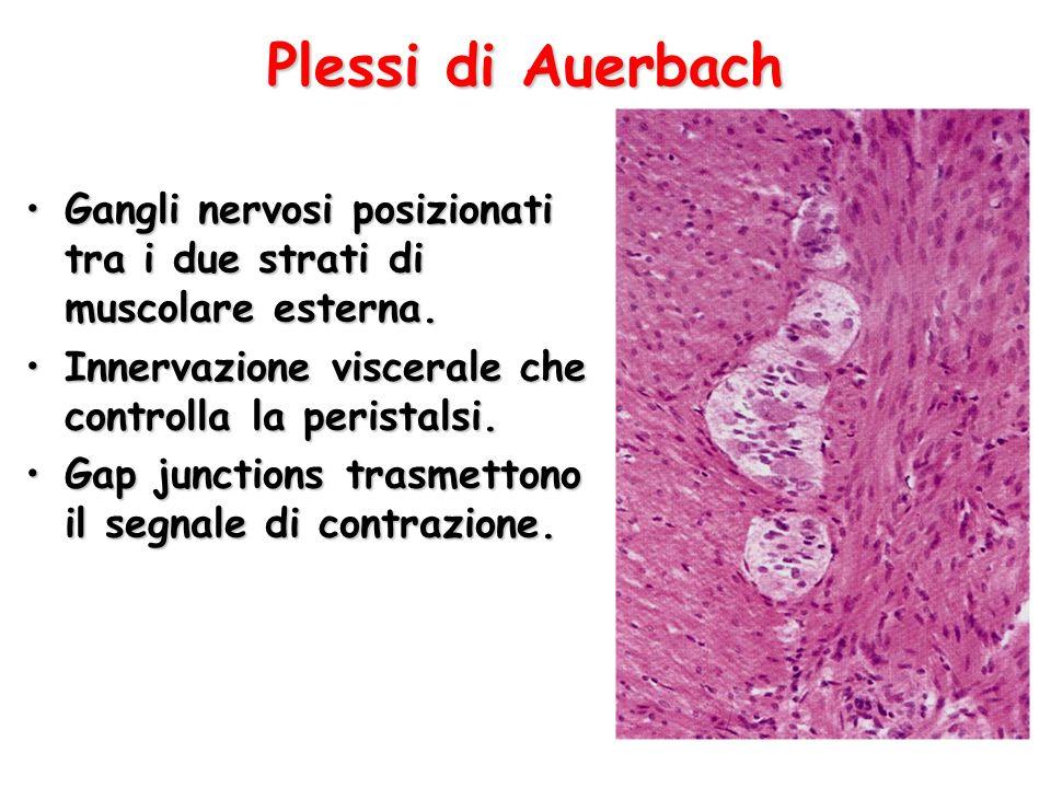 Plessi di Auerbach Gangli nervosi posizionati tra i due strati di muscolare esterna. Innervazione viscerale che controlla la peristalsi.