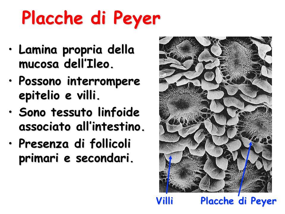 Placche di Peyer Lamina propria della mucosa dell'Ileo.