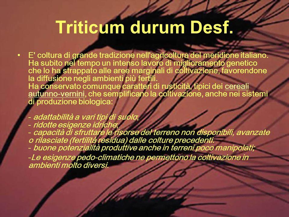 Triticum durum Desf.