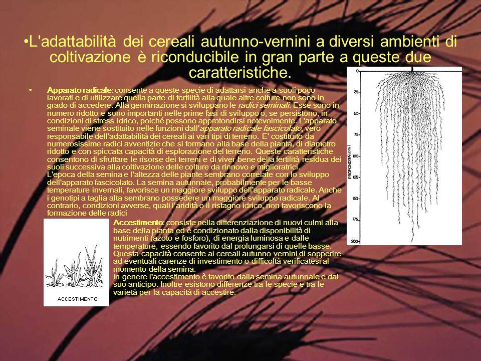 L adattabilità dei cereali autunno-vernini a diversi ambienti di coltivazione è riconducibile in gran parte a queste due caratteristiche.