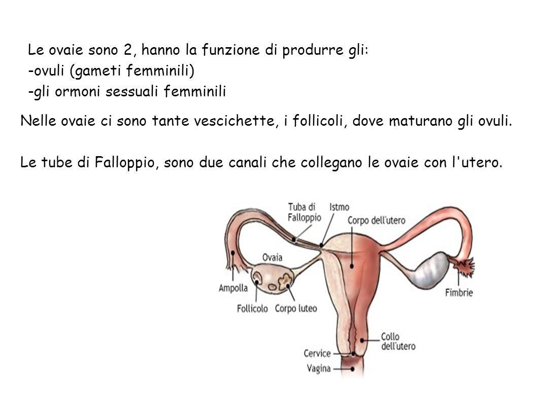 Le ovaie sono 2, hanno la funzione di produrre gli:
