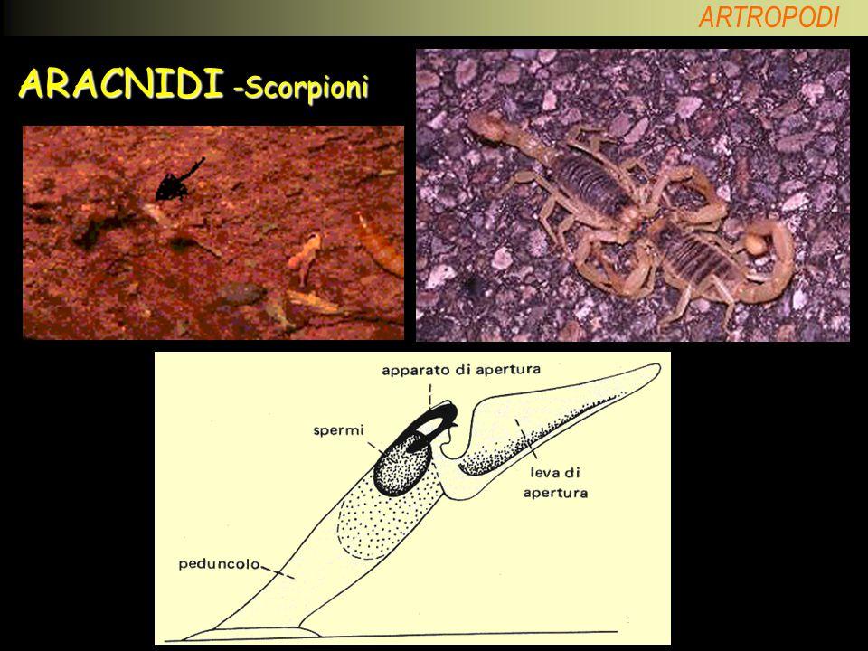 ARACNIDI -Scorpioni