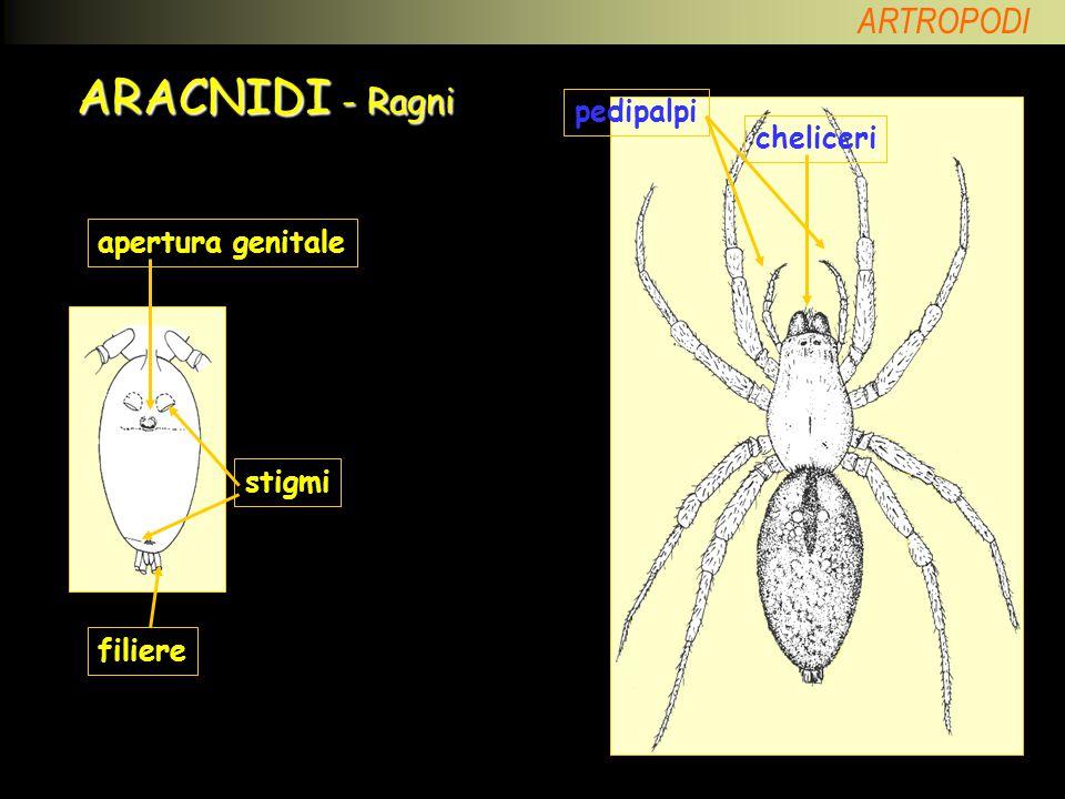 ARACNIDI - Ragni pedipalpi cheliceri apertura genitale stigmi filiere