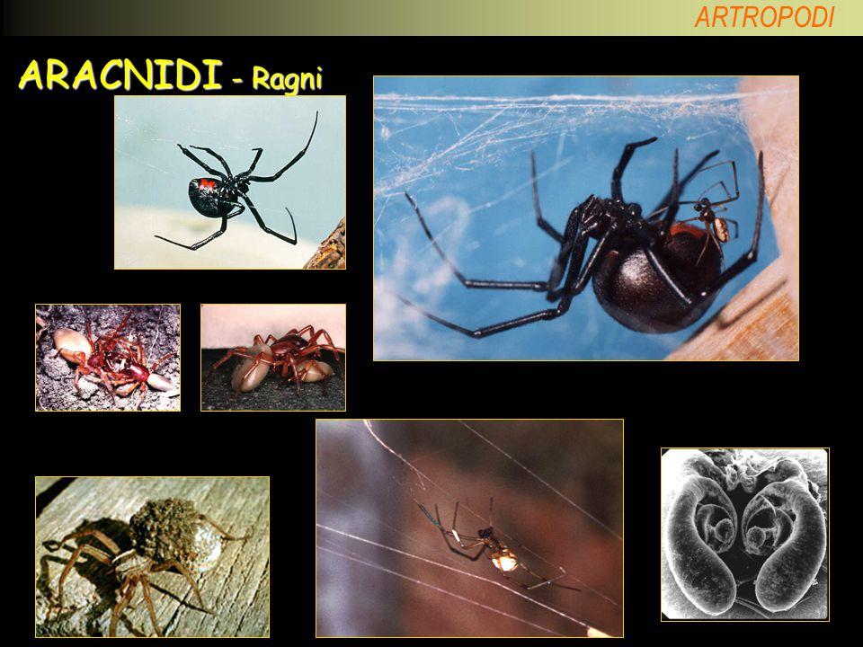 ARACNIDI - Ragni Vedova nera (Latrodectus). Dimorfismo sessuale.