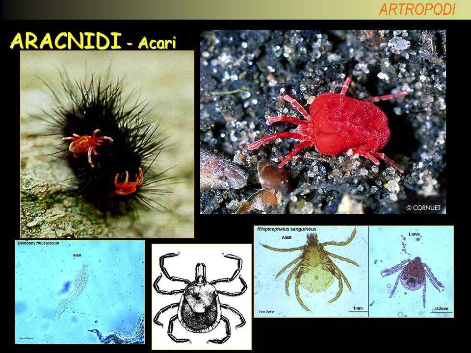 ARACNIDI - Acari Acari necrofagi; Trombidion (predatore) adulto e larva di zecca; acaro dei follicoli; zecche.