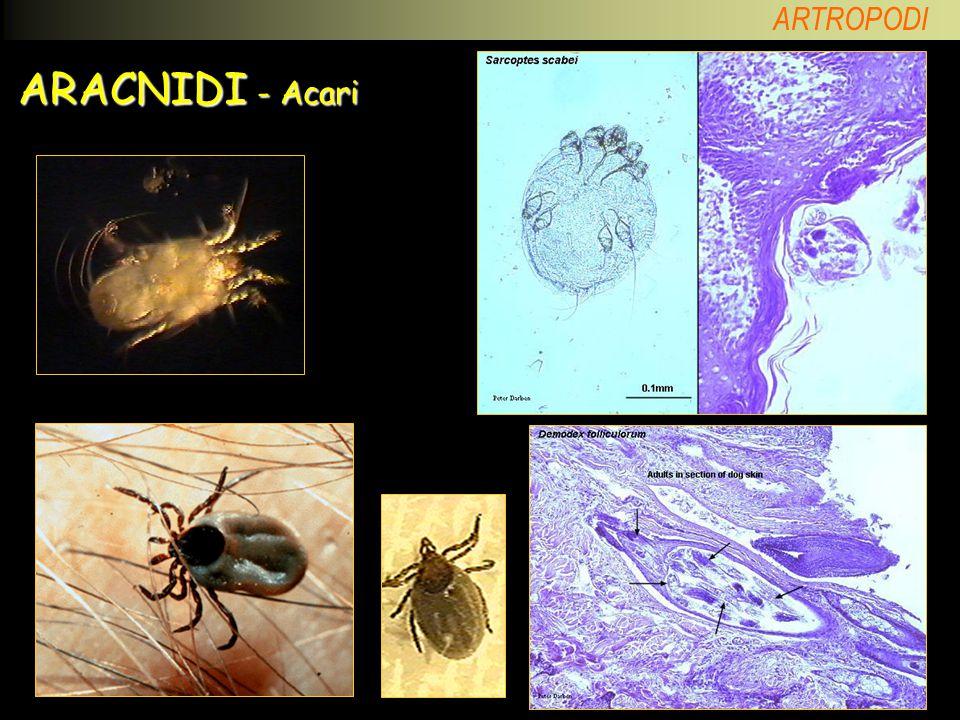 ARACNIDI - Acari Acaro della polvere; acaro della scabbia; Demodex; zecche.