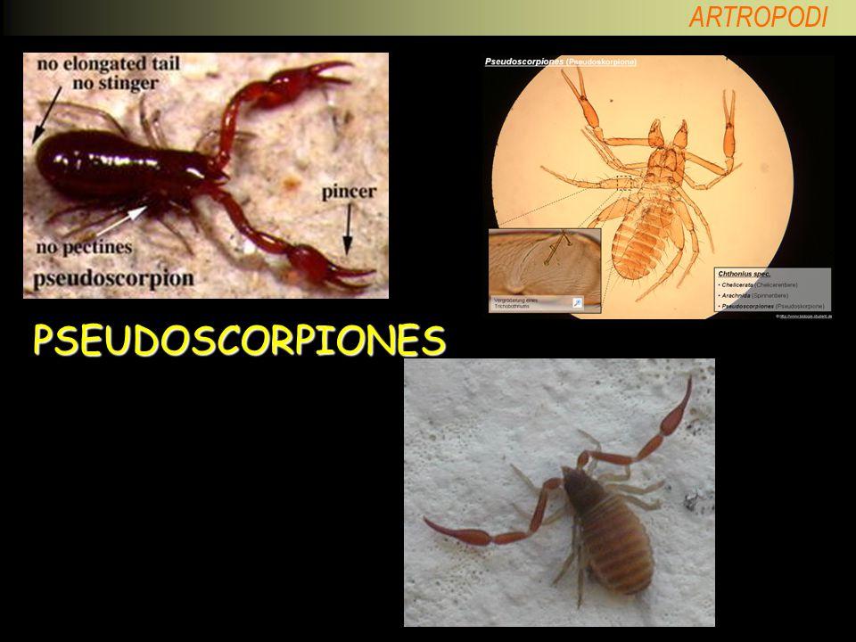 PSEUDOSCORPIONES