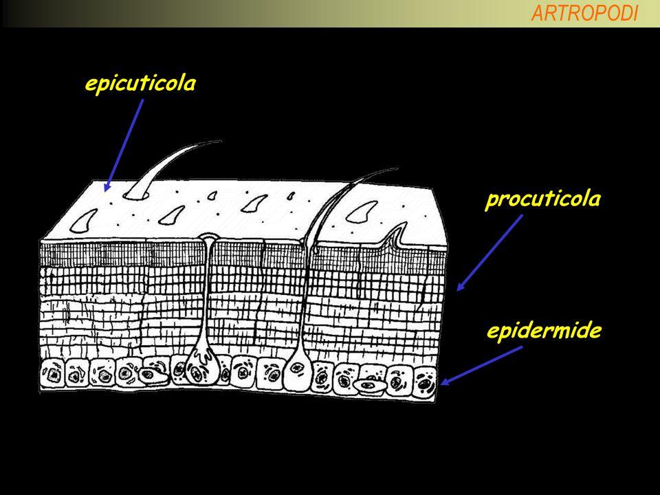 CUTICOLA epicuticola procuticola epidermide