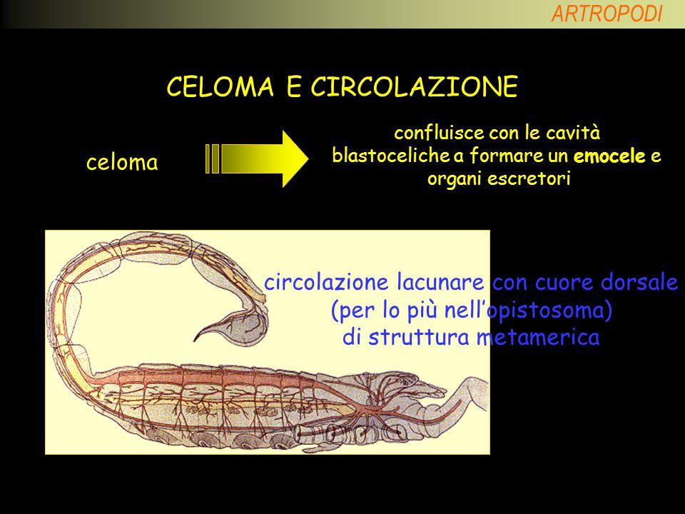 CELOMA E CIRCOLAZIONE celoma circolazione lacunare con cuore dorsale