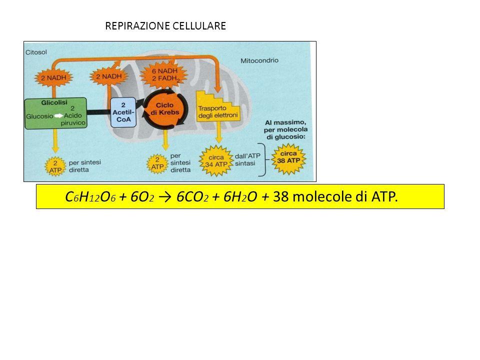 C6H12O6 + 6O2 → 6CO2 + 6H2O + 38 molecole di ATP.