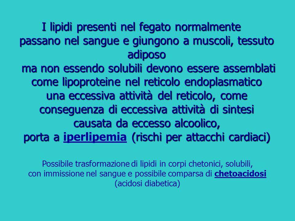 I lipidi presenti nel fegato normalmente passano nel sangue e giungono a muscoli, tessuto adiposo ma non essendo solubili devono essere assemblati come lipoproteine nel reticolo endoplasmatico una eccessiva attività del reticolo, come conseguenza di eccessiva attività di sintesi causata da eccesso alcoolico, porta a iperlipemia (rischi per attacchi cardiaci)