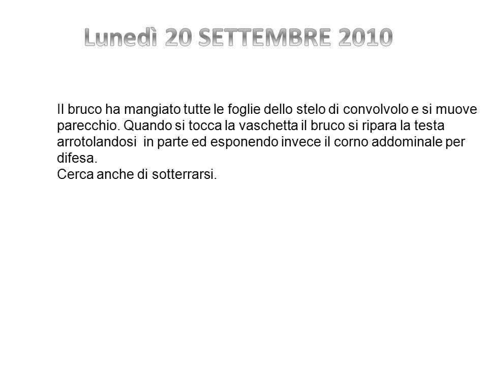 Lunedì 20 SETTEMBRE 2010 Il bruco ha mangiato tutte le foglie dello stelo di convolvolo e si muove.