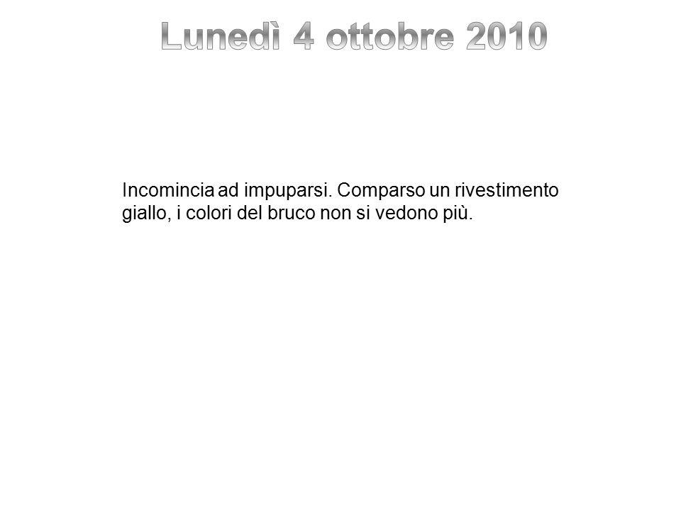 Lunedì 4 ottobre 2010 Incomincia ad impuparsi. Comparso un rivestimento.