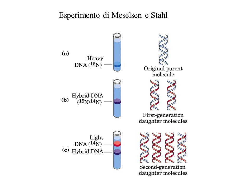 Esperimento di Meselsen e Stahl