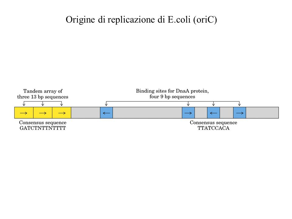 Origine di replicazione di E.coli (oriC)