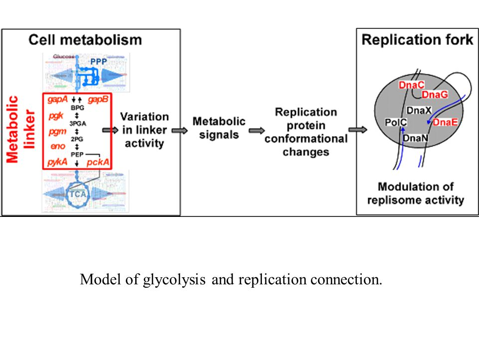 Model of glycolysis and replication connection.