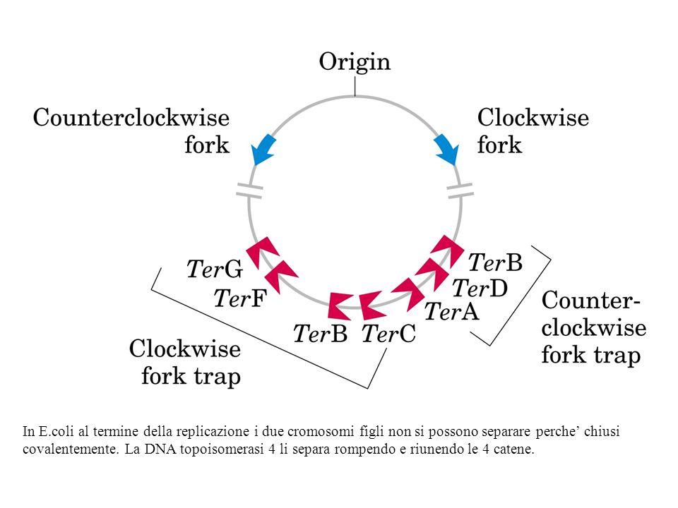 In E.coli al termine della replicazione i due cromosomi figli non si possono separare perche' chiusi