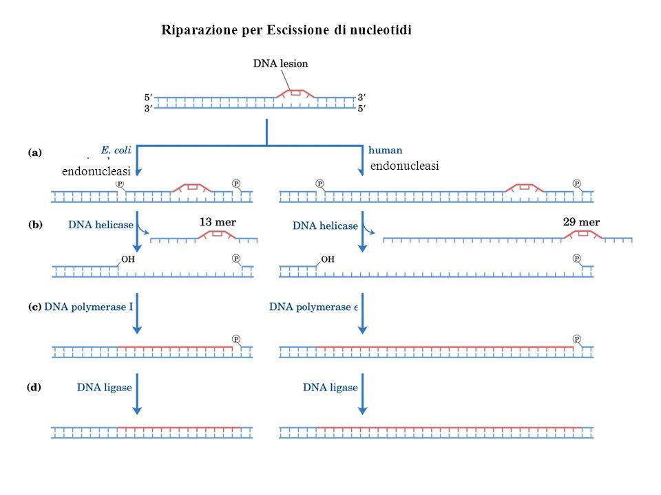 Riparazione per Escissione di nucleotidi