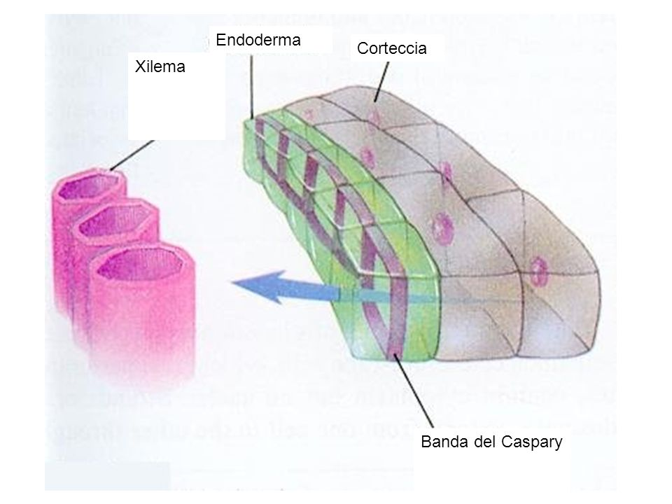 Endoderma Corteccia Xilema Banda del Caspary