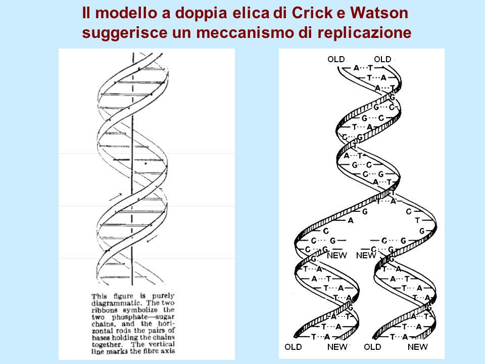 Il modello a doppia elica di Crick e Watson