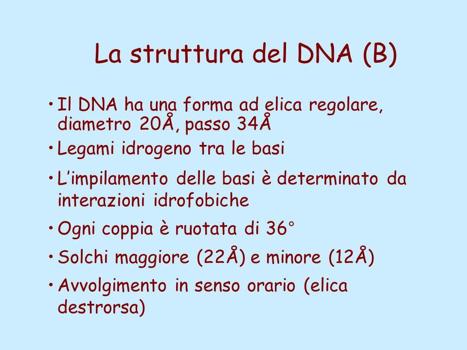 La struttura del DNA (B)