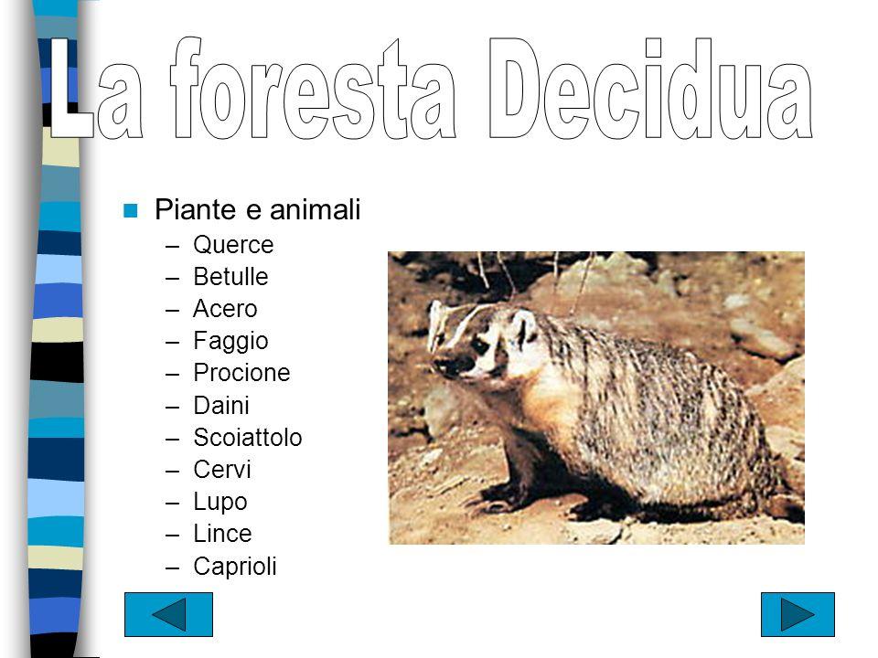 La foresta Decidua Piante e animali Querce Betulle Acero Faggio