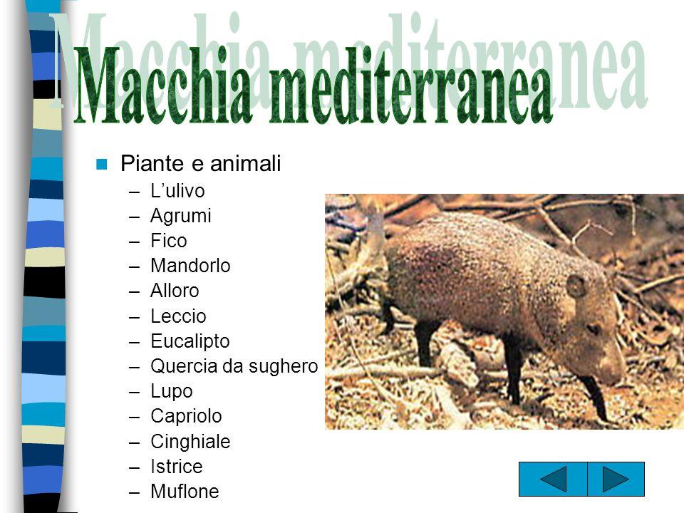 Macchia mediterranea Piante e animali L'ulivo Agrumi Fico Mandorlo