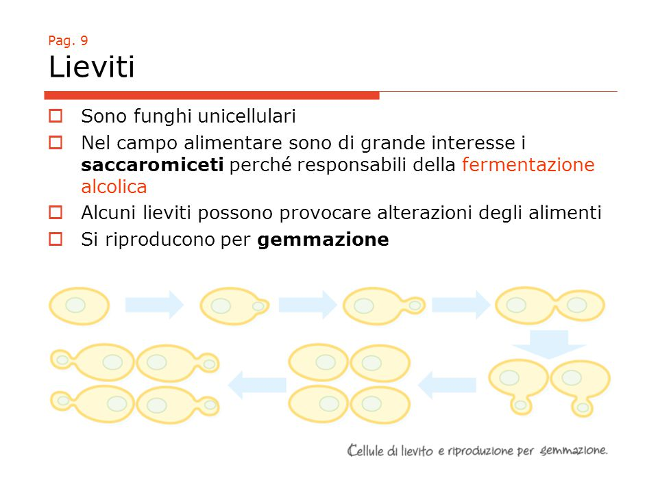 Sono funghi unicellulari