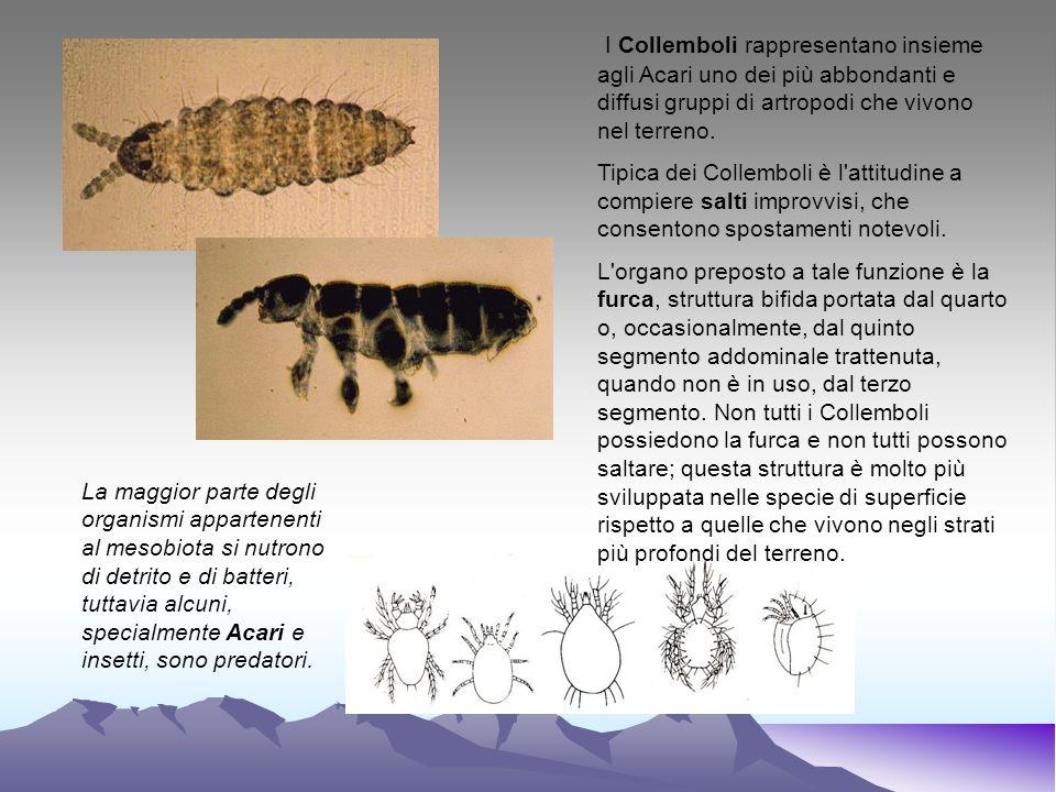 I Collemboli rappresentano insieme agli Acari uno dei più abbondanti e diffusi gruppi di artropodi che vivono nel terreno.