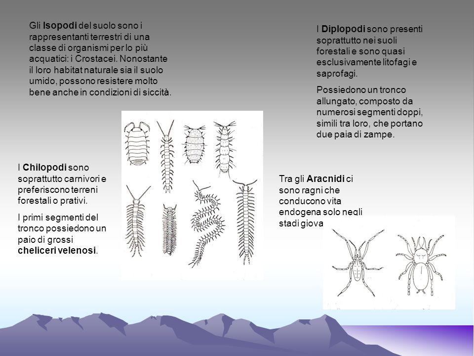 Gli Isopodi del suolo sono i rappresentanti terrestri di una classe di organismi per lo più acquatici: i Crostacei. Nonostante il loro habitat naturale sia il suolo umido, possono resistere molto bene anche in condizioni di siccità.