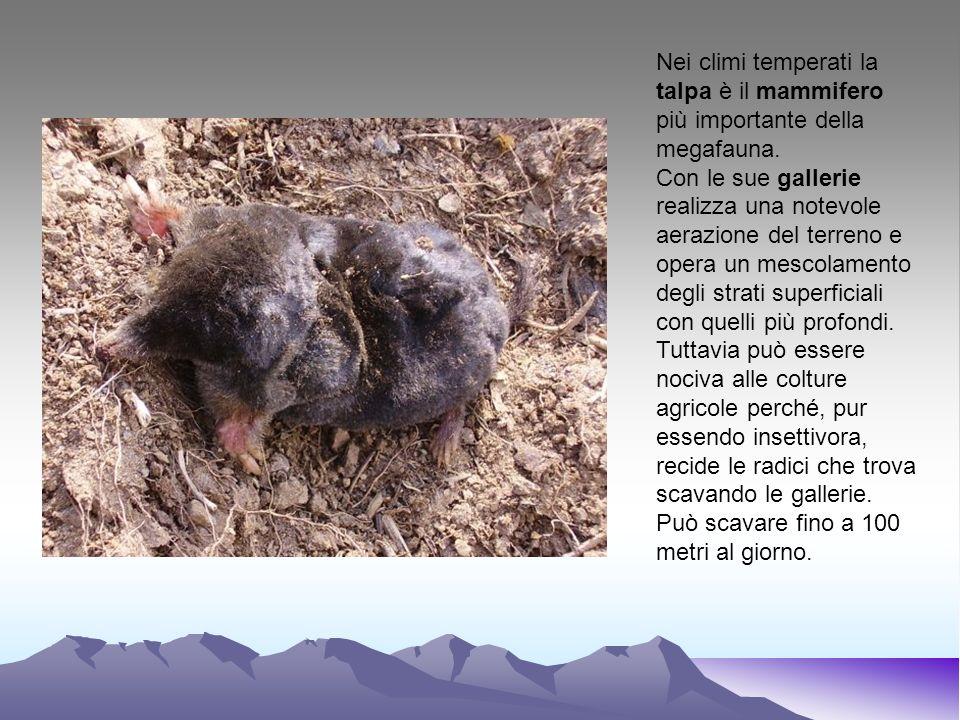 Nei climi temperati la talpa è il mammifero più importante della megafauna.